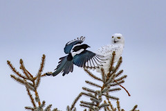 Double trouble (Peter Stahl Photography) Tags: snowy magpie voles snow winter canon600iii