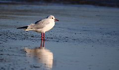 Black-Headed Gull. (Chris Kilpatrick) Tags: chris canon canon7dmk2 outdoor wildlife nature bird animal blackheadedgull gull seabird sea beach douglas isleofman sigma150mm600mm