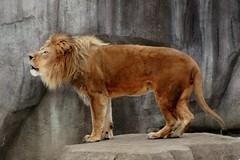 Lion 10 (Emily K P) Tags: milwaukeecountyzoo zoo animal wildlife bigcat cat feline male lion tan yellow grey gray rock roar vocalize