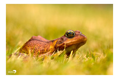 Common frog (AngiZW) Tags: frog commonfrog amphibian animal ranatemporaria nature wildlife