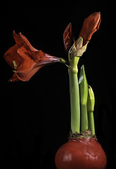Giant Amaryllis With 1 Bloom, 2 Blossoms And 2 Buds (Bill Gracey 22 Million Views) Tags: giantamaryllis blooms buds flower fleur flor bulb red green color offcameraflash macrolens macrophotography floralphotography flowers blackbackground homestudio softbox lastoliteezbox roguegrid backlit backlighting tabletopphotography