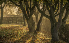 Light (cliveg004) Tags: trees mist sunbeams rays light shadows autumn uptononsevern leaves shade dark nikon d5200 worcestershire