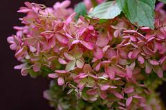 Tree Hydrangea is still pink :-) (Dotsy McCurly) Tags: treehydrangea pink autumn flower nature beautiful yard nj newjersey nikonz7 tokinaatxm100prod100mmf28macro handheld macro