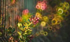 Autumn Series - 27 (Dhina A) Tags: sony a7r a7r2 a7rii minolta rokkor 250mm f56 reflex mirror lens bokeh autumn fall colors colourful