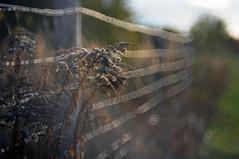 HFF (Frau Koriander) Tags: nature natur hff fence zaun nikond300s dof depthoffield darmstadt darmstadtkranichstein germany deutschland helios helios44m6 light licht pflanze plant gegenlicht reflektion bokeh
