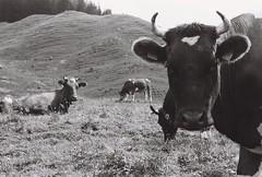 (NicolasLocatelli) Tags: lait vache animal ilford cows switzerland suisse alps