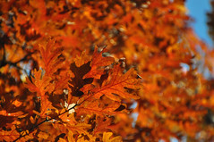 oaktober (christiaan_25) Tags: whiteoak quercusalba leaf leaves tree autumn fall season orange red change backlighting backlit sky nature