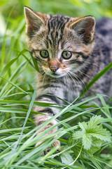 Kitty walking in the grass (Tambako the Jaguar) Tags: wildcat kitten young baby cute portrait close walking grass paw wildpark goldau switzerland nikon d5