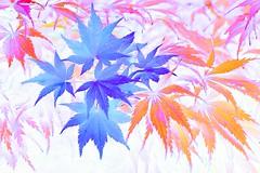 pastel of Acer leaves (HansHolt) Tags: watercolour pastel leaf leaves blad acer maple esdoorn acerpalmatum japanesemaple acerpalmatumburgundylace burgundylace acerpalmatumsummergold summergold japanseesdoorn momiji macro canon 6d 100mm canoneos6d canonef100mmf28macrousm