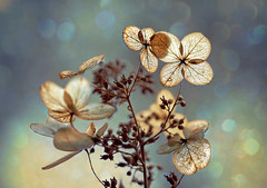 Fragile beauties (Through Serena's Lens) Tags: dried hydrangeas skeleton lace transparent delicate petals flora flower fragile bokeh dof macro naturallight canoneos6dmarkii