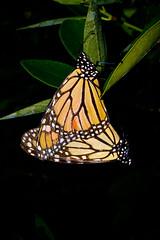 Mating Monarchs (donjuanmon) Tags: donjuanmon nikon nature macro macromondays butterfly monarch dotsandstripes theme