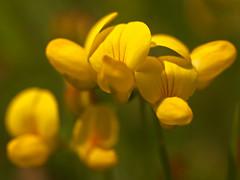 Anglų lietuvių žodynas. Žodis lotus corniculatus reiškia <li>lotus corniculatus</li> lietuviškai.