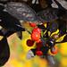 Capsicum annuum 'Black Pearl '   ブラックパール(実)