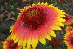 Sommertraum (Gartenzauber) Tags: garten sony natur blume ngc npc floralfantasy