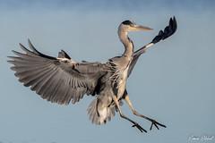 Grey Heron (Simon Stobart) Tags: grey heron ardea cinerea flight landing water north east england uk ngc