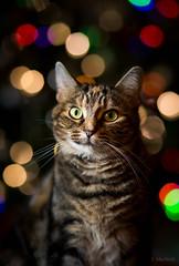 Meowy Christmas (Jen MacNeill) Tags: christmas cat cats tabby feline holiday lights tree light holidays bokeh
