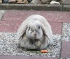 """Are you photographing me?"" (eveliensbunnypics) Tags: bunny rabbit lop lopeared polly outdoor outside backyard patio carrot eating nomming nom noms dewlap"