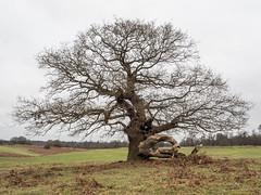 Oak Tree (terrylaws526) Tags: oaktree