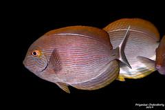Brown Surgeonfish (priyankarchakraborty1991) Tags: tang aquarium fish marine brown yellow blue black surgeonfish saltwater india