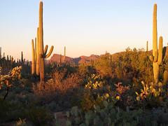 Sonoran Desertscape (zoniedude1) Tags: arizona sonorandesert landscape cactus desertscape saguaros sonorandesertscape desert mountains beauty saguarocactus carnegieagigantea scenic view saguaro az 2760ftelevation serene wildplaces saguaronationalpark tucson outdoors adventure exploration discovery tucsonmountains pimacounty winter2018 southwest nature canonpowershotg12 pspx19 zoniedude1 earthnaturelife