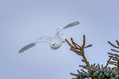 On a mission (Peter Stahl Photography) Tags: snowowl snowy owl winter snow hunting white wildlife canon600iii