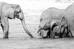 Sizes (Thomas Retterath) Tags: thomasretterath 2018 nopeople safari natur nature africa afrika botswana wildlife river fluss chobe stoszähne loxodontaafricana bigfive africanelephant elefant elephantidae pflanzenfresser herbivore säugetier mammals animals tiere tusks fotocompetitionbronze fotocompetition