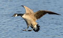 Canada Goose (Kevin James54) Tags: canadagoose carolinabeach carolinabeachlake nikond850 tamron150600mm wilmington animals avian bird brantacanadensis kevingianniniphotocom