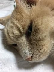 Norio Politely Posing (sjrankin) Tags: 16march2019 edited animal cat norio closeup weeweemat bed bedroom kitahiroshima hokkaido japan