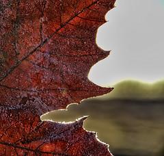 HELADA1 (Pedro Angel Ruiz) Tags: hielo agua paisajes naturaleza escarcha plantas botánica amanecer glace eau paysages nature gelée plantes botanique leverdusoleil ice water landscapes frost plants botany sunrise