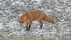 Red Fox 3. (rumerbob) Tags: redfox fox animal wildlife wildlifephotographer wildlifewatcher nature naturewatcher naturephotography warminsterpark canon7dmarkii canon100400mmlens