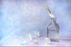 Cartas que nunca llegaron... (saparmo) Tags: zen meditación relajación texturas calma bokeh pétalos tulipán tulip petals calm beauty