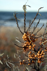 Sea Buckthorn (Eklandet) Tags: nature sverige sweden samsung sky scandinavia nordic countries naturephotography fineartphotography naturelover havtorn hippophaë rhamnoides baltic sea berry buckthorn