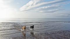 the boys are back (RCB4J) Tags: art ayrshire ayrshirecoast babygrace bordercollie clydecoast dobermanterrier dogs firthofclyde irvinebeach jakob labradors photography rcb4j retrievers ronniebarron scotland shoragundogs siameselurcher sony18250mmf3563dtaf sonyslta77v spaniels trailhound dxo