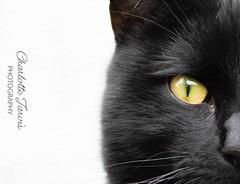 (charlottejarvis@live.co.uk) Tags: uk england bucks marlow blackcat cat