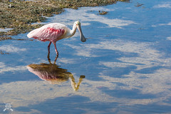 Roseate Spoonbill-7787 (NWPaddler) Tags: 2019 birds dingdarlingnwr fl florida roseatespoonbill sanibel wildlife water zoom pink bird