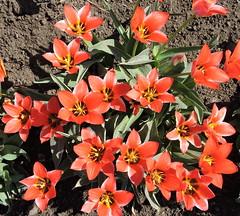 "2018-04-18 Tulipa ""Coors"" - BG Teplice (beranekp) Tags: czech teplice teplitz tulipa botanik botany botanic herbarium herbary herbář garden garten flora flower plant"