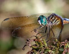 IMG_6182_1edit (Mammies Memories) Tags: dragonfly macro wings