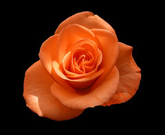 00986 Orange Rosenblüte. (Fotomouse) Tags: fotomouse margrit rosenblüte rose rosen blüten blüte blossoms blossom blumen blume flowers flower makro macro orange nahaufnahme