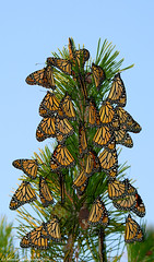Top of the tree (v4vodka) Tags: monarch monarchbutterfly motyl motylek milkweed commontiger wanderer blackveinedbrown danausplexippus monarchfalter amerikanischemonarch monarcha 君主斑蝶 insect butterfly
