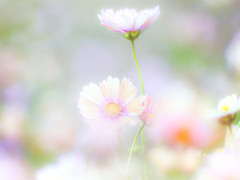 cosmos flower field (Tomo M) Tags: orangecampus cosmos bokeh light ひたち海浜公園 outdoor nature pastel dreamy soft 2 pentacon