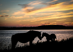 Assateague Ponies by Amy Dossett (Maryland DNR) Tags: 2018 photocontest wildlife mammals ponies horses assateague mom mother shore ocean beach sunset foal