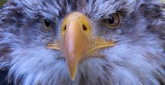 Is it flickr or is it my PC ?? (pe_ha45) Tags: haliaeetusleucocephalus baldeagle weisskopfseeadler raptor rapace greifvogel