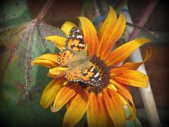 Painted Lady (Butterfly) (Deida 1) Tags: paintedlady butterfly sunflower garden uk staffordshire
