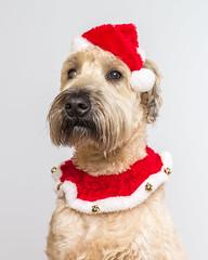 Festive Wheaten Terrier (Scott Michaels) Tags: nikon d600 nikon85mm wheatenterrier sb700 sb600 apolloorb christmas