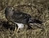 2I1A8714b (lfalterbauer) Tags: canon 7d mark ii nature wildlife photographer ornithology avian raptor birdsofprey dslr digital camera adobe lightroom