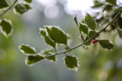 Christmassy (Wouter de Bruijn) Tags: fujifilm xt2 fujinonxf56mmf12r holly christmas berry berries red plant leaf leaves sting barbed barb branch bokeh depthoffield nature sun bright warm warmth outdoor manteling oostkapelle veere walcheren zeeland nederland netherlands holland dutch