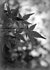 2018 Sydney: B&W Maple Leaves (dominotic) Tags: 2018 springmapletree leaf bw mapleleaf bokeh shadow blackandwhite sydney australia