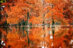 Cyprès Chauve - Autumn 2018 (Njones03) Tags: 2018 arbres automn autumn cypreschauve etangdebaix lake nicolassavignat tree saintbaudilledelatour isère france fr