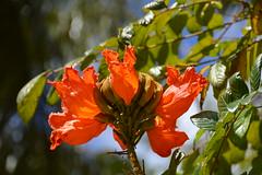 African Tulip Tree (Spathodea Campanulata) (Seventh Heaven Photography **) Tags: african tulip tree spathodea campanulata orange flowers flora blooms nikon d3200 bokeh leaves