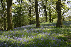 Poles Coppice Bluebells (Seventh Heaven Photography **) Tags: poles coppice bluebells nikon d3200 shropshire england flowers blue blooms flora woods trees countryside wood wild